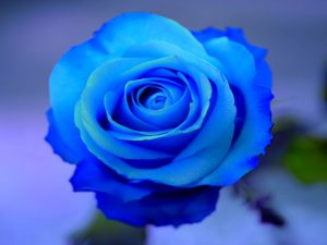 Blue Rose of Lemuria
