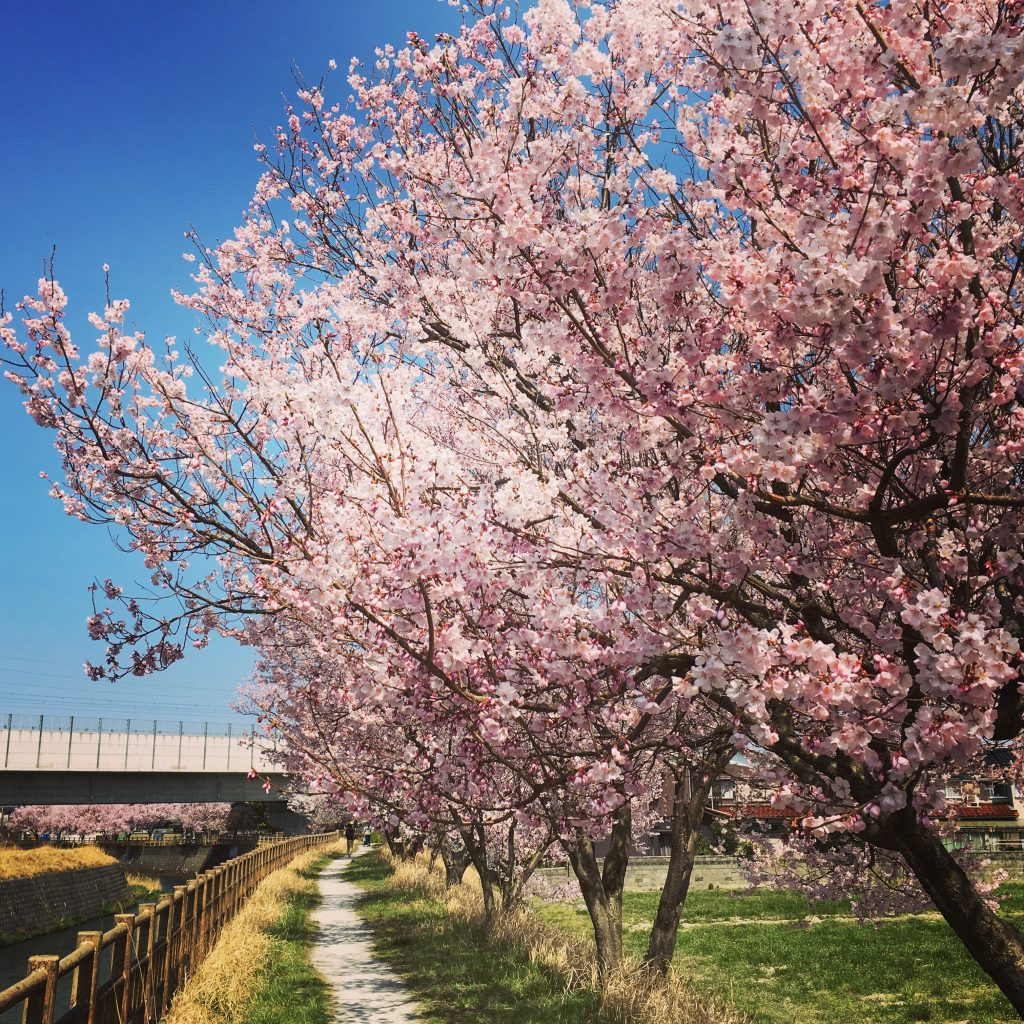 cherry blossoms near the river
