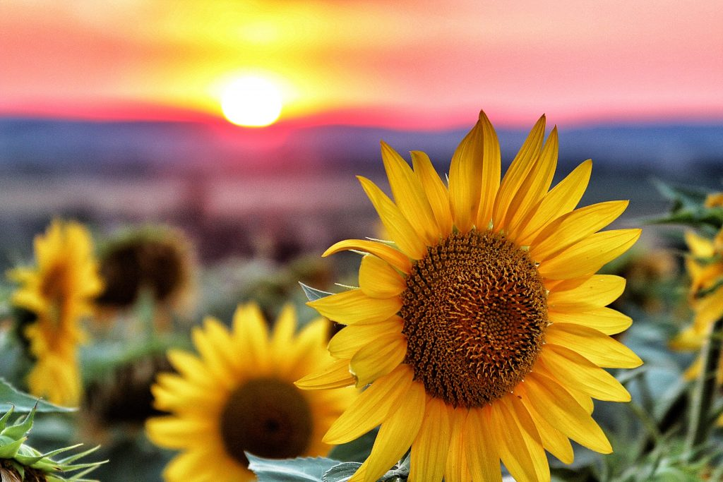 sunflower at sunrise